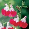 Salvia Plant - x Jamensis Hot Lips