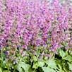 Salvia Seeds - Purple Fairy Tale