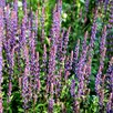 Salvia Plant - x Nemerosa Caradonna