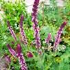 Salvia Caradonna Inspiration Pink