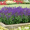 Salvia Blue Marvel Plants