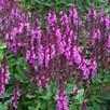 Salvia Rose Marvel Plants