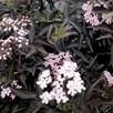 Sambucas Nigra Black Beauty