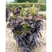 Sambucus nigra 'Black Tower'®