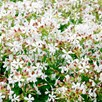 Soapwort Seeds - Graciella White