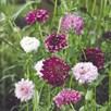 Scabious Seeds - Pincushion Mix