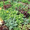 Sedum Plants - Little Urchins