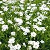 Silene Plants - Starry Dreams