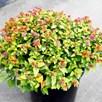 Spiraea japonica 'Magic Carpet'®