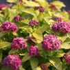 Spiraea japonica Plant - DOUBLE PLAY® GOLD Proven Winners®