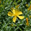 St John's Wort Seeds - Healing Balm
