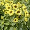 Sunflower Seeds -  Garden Statement