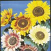 Sunflower Seeds - Collection