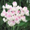 Sweet Pea Seeds - Lavender Bridesmaid