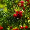 Taxus Baccata (Yew) Plant