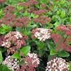 Viburnum tinus Plant - 'Lisarose' Noble®