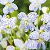 Viola Seeds - Freckles