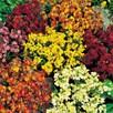 Wallflower Seeds - Persian Carpet Mix