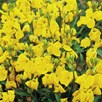 Wallflower Seeds - Cloth of Gold