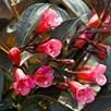 Weigela Florida Wine and Roses (Alexandra ) 3Ltr