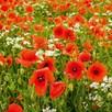 Poppy Seeds - Field Poppy (rhoeas)