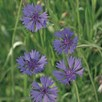 Cornflower Seeds - Field Cornflower