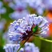 Blue Woodruff Seeds - Blue Shades