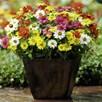 Zinnia Plants - Zahara