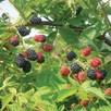 Blackberry (Rubus) Loch Ness
