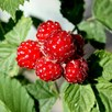 Blackberry Dorman Red