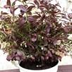 Blueberry Plant - Cabernet Splash