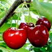 Family Fruit Tree - Cherry