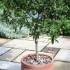 Patio Fruit Tree Medlar