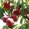 Patio Fruit Tree Peach Avalon Pride 1