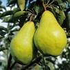 Pear Tree - Duo Beurre Hardy/Williams Bon Chretien
