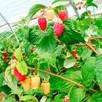 Raspberry Plants - Malling Juno