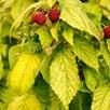 Raspberry Plants - Groovy