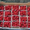 Raspberry Plants - Autumn Bliss