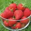 Strawberry Plants - Vibrant