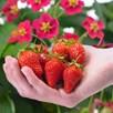 Strawberry Plants - F1 Toscana