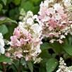 Hydrangea paniculata Plant - Pinky Winky®