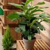 Cardamom Plant - P12