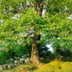 Truffle Tree - Oak