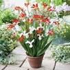 Plant-o-Mat Classic - Crocosmia/Iris (19)