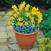 Plant-O-Tray Patio Pre-planted Bulbs - Narcissus & Scilla(19)
