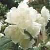 Philadelphus Plant - Virginal