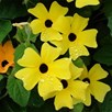 Thunbergia Collection (6)