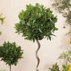 Bay Tree - Twisted Stem Large Standard 21cm 80cm
