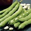 Bean (Broad) Seeds - Giant Exhibition Longpod