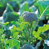 Broccoli Seeds - F1 Bellaverde Sibsey
